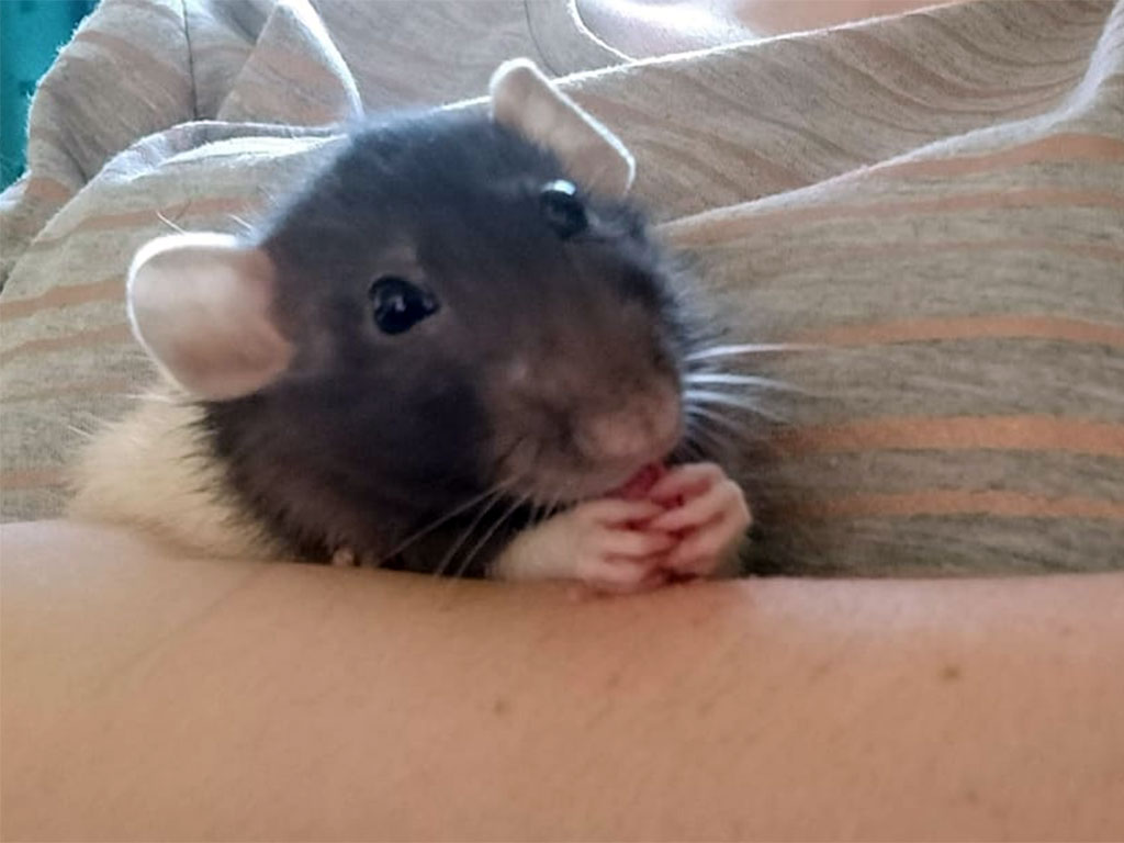 Biscuit the rat eating a biscuit